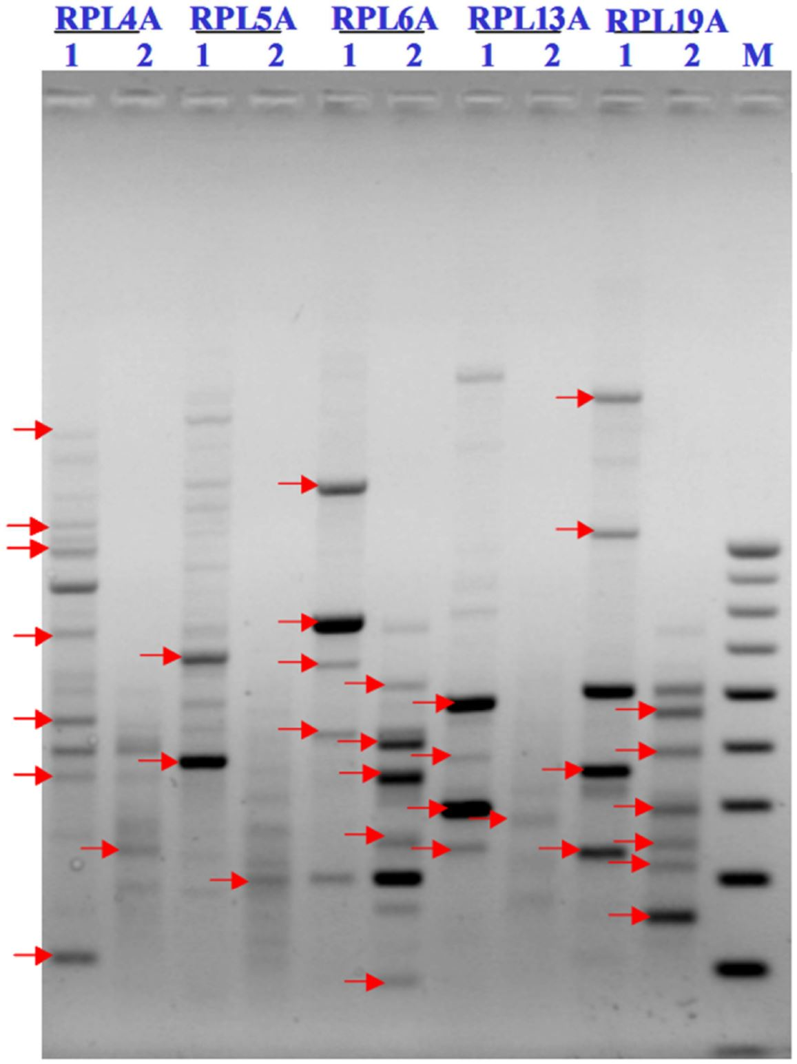 Morphological and Molecular Analysis Using RAPD in Biofield Treated